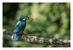 Oiseaux des étangs (BerColly) Tags: france auvergne puydedome oiseau bird martinpecheur commonkingfisher bleu blue fish poisson pêche fishing branche branch arbre tree bokeh bercolly google flickr