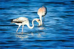 Not-so-Pink Flamingo (soupie1441) Tags: bird nature wildlife flamingo pinkflamingo cayoguillermo cuba animal nikon d7200 nikkor 200500mm pink water blue
