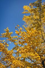 Fall Foliage (bacon.dumpling) Tags: arashiyama arashiyamapark autumn fallfoliage fujifilmxpro2 fujinonxf16mmf14rwr japan koyo kyoto leafchangingseason