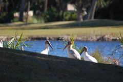 Wood Storks (Fido Cat) Tags: nature frippisland southcarolina birds storks woodstork herons greenheron midnightheron egret