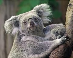 Koala mum with joey (Foto Martien) Tags: koala joey baby jongekoala newbornkaola motherandchild moederenkind mother moeder koalabear nativebear monkeybear treebear bangaroo newhollandsloth cullawine koolawong colah karbor colo coolbun boorabee burroor pucawan koalabeer banjorah burrenbong buidelbeer fascolarto aschgrauerbeutelbär phascolarctoscinereus marsupial buideldier easternaustralia oostaustralië southeasternqueensland easternnewsouthwales southeasternsouthaustralia victoria eyrepeninsula strongclaws largepaws phascolarctidae kangaroos wallabies wallaroos wombats possums opossums zooduisburg germany deutschland duitsland northrhinewestphalia nordrheinwestfalen tree boom eucalyptus zoo dierenpark dierentuin geotaggedwithgps sony a77 sonyalpha77 sonyslta77v tamron70300mmf456sp martienuiterweerd fotomartien