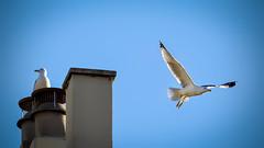 Mouette - Goéland (thierrybalint) Tags: mouettes oiseaudemer nikon nikoniste seagulls birds sky animal gabian photography photographie