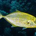 Orange-spotted Trevally - Carangoides bajad