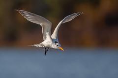 Royal Tern (wn_j) Tags: birds birding birdsinflight nature naturephotography wildlife wildanimals wildlifephotography canon canon1dxii canon500mm tern floridawildlife floridabirds florida