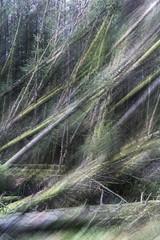 Domino Effect (Wayne Elsworth) Tags: icm conifers multipleexposure trees plantation