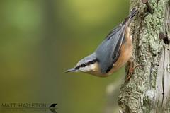 Nuthatch (Matt Hazleton) Tags: nuthatch sittaeuropaea woodland canon canoneos7dmk2 canon100400mm eos 100400mm 7dmk2 matthazleton matthazphoto northamptonshire bird wildlife nature animal outdoor barnwell