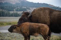 Amour maternel (Samuel Raison) Tags: bison buffalo yellowstone nikon nikond800 nikon282470mmafsg wildlife nature mother baby reddog