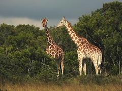 7034ex2 walking with giraffes (jjjj56cp) Tags: giraffe giraffes inthewild aberdare nationalpark wildlifesanctuary sanctuary walking nyeri kenya africa safari africansafari summer july p900 jennypansing reticulatedgiraffe