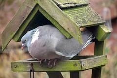 My new home (Deida 1) Tags: woodpigeon bird garden uk staffordshire birdtable