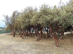 Polylepis sp. (Anita363) Tags: unidentified tree polylepis rosaceae flora sacsayhuaman cuzco unescoworldheritagesite