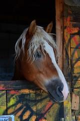 Haflinger (emina.knezevic) Tags: haflinger horse equine equestrian petphotography pets nikon nikond3200 equestrianphotography