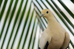 Yellowish Imperial Pigeon close up (billcoo) Tags: 6d2 6dii 2 bokeh bird nature