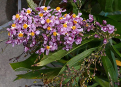 12 spikes this year on Oncidium sotoanum 1-2 species orchid 10-18 (nolehace) Tags: oncidium sotoanum 12 species orchid 1018 fall nolehace sanfranciso fz1000 flower bloom plant