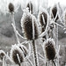Morning frost (mfophotos) Tags: nature teasel hoarfrost november annarbor michigan winter