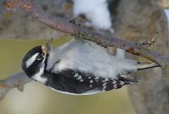 Downy Woodpecker - female (mikewiz) Tags: birds woodpeckers downywoodpecker picoidespubescens grandforksbc