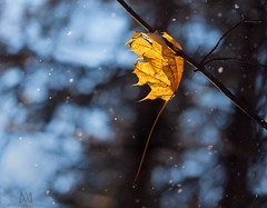 suspended animation (marianna armata) Tags: bokeh snow falling gold golden leaf winter trees arboretum mariannaarmata