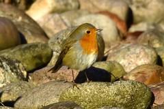 DSC_6760 Rouge-gorge (sylvette.T) Tags: oiseau bird rougegorge robin 2018 pierres animal nature