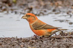 DSC4350  Crossbill.. (Jeff Lack Wildlife&Nature) Tags: crossbill crossbills redcrossbill commoncrossbill birds avian animal animals wildlife wildbirds woodlands forest forests forestofdean forestry pines pineforest conifer trees countryside nature