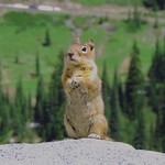 04/12/2018 - PDI. League 3.. Chipmunk Mt Ranier National Park by Elaine Robinson
