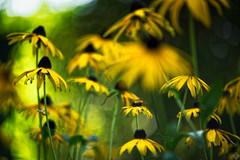 DSC01941_DxO (mortelette.david) Tags: sony sonya7ii sonyilce7m2 a7ii pentacon pentacon135mmf28 bokeh dof profondeurdechamp blur flou flower fleur lumière color couleur light vintagelens manuallens extérieur m42