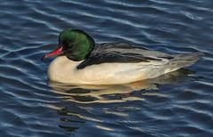 Drake Eurasian Goosander ( Mergus merganser ) - What a beauty !! (Clive Brown 72) Tags: drake male sawbill duck dusk winter water pond lake wales cautious shy bird goosander