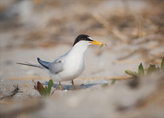 Solitary Man (Kathy Macpherson Baca) Tags: bird birds leasttern endangered beach fly migrate feathers nesting planet animal wings fish earth beaches bays inlets ocean world mate