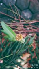 3rd Step Bunga Tempuyung / Sonchus Arvensis Flower (setiawanap) Tags: indonesia setiawanap setiawanapvlog tanaman tumbuhan daun bunga batang plants tree leaf flower tempuyung sonchusarvensis sonchus arvensis