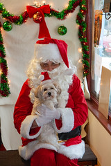 Pip and Santa (Laura Erickson) Tags: people matildasdogbakery duluth stlouiscounty family pip places minnesota havanasilkdog thunderroadspip