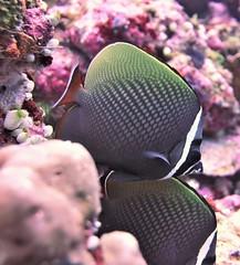 Chaetodon collare (kmlk2000) Tags: maldives vacation sea ocean sealife sun blue underwater fish poisson beach reef