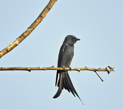 Fork-tailed Drongo (Birdwatcher18) Tags: forktaileddrongo drongo birds birder birding birdwatching birdonbranch birdontree nature natural fauna