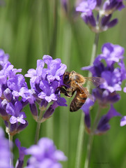 Feeding (yvonnepay615) Tags: panasonic lumix gh4 nature bee lavender mygarden coth coth5