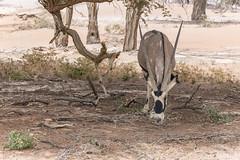 _RJS4694 (rjsnyc2) Tags: 2019 africa d850 desert dunes landscape namibia nikon outdoors photography remoteyear richardsilver richardsilverphoto safari sand sanddune travel travelphotographer animal camping nature tent trees wildlife