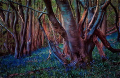 Remember bluebells (Nellie Vin) Tags: color bluebells wood trees land different photography processing nellievin purple blue magenta