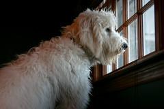 35/365 - Keeping watch (Ed Gloria) Tags: puppy dog watchdog fluffy fuzzy furry mansbestfriend pet