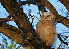 Great Horned Owlet...#3 (Guy Lichter Photography - 4.4M views Thank you) Tags: canon 5d3 canada manitoba winnipeg wildlife animal animals bird birds owl owls greathornedowl owlet