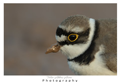 Plover with Nutella (T@hir'S Photography) Tags: plover little ringer closeup d500 close portrait mudd beak eye animal morning migration wildlife