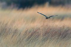 Grasslands Hunter (PhillymanPete) Tags: wildlife grasslands winter asioflammeus flight seo nature bif birdsofprey shortearedowl farm owl raptor birdsinflight bird nikon d500