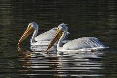 American White Pelican © (Rodolfo Quinio) Tags: americanwhitepelican nikond800 nikonafs300mmf4d nikontc17eii lakemerritt oaklandca alamedacounty waterfowl waterbird aquaticbird lake nature wildlife 225
