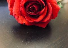 Roses are red... (Mshellsees) Tags: rose love romance red passion fire beautiful elegance classic floral intoxicating alive captivating alluring sensational sensual raw decay nature timeless bruised wilts affection mysterious layers layeruponlayer petals rosepetals