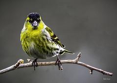 siskin-4892 (Mark Strain.) Tags: carduelis spinus siskin male bird wildlife animal wildbirds