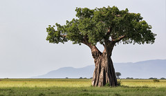A Savannah Hero (AnyMotion) Tags: baobab afrikanischeraffenbrotbaum adansoniadigitata tree baum plants pflanzen nature natur landscape landschaft savannah savanne 2018 anymotion tarangirenationalpark tanzania tansania africa afrika travel reisen 7d2 canoneos7dmarkii landschaftaufnahmen