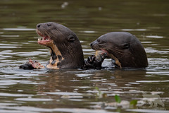 Otter Feast (fascinationwildlife) Tags: animal mammal endangered species river otter wild wildlife nature natur giant riesenotter feeding fish morning water catch pantanal brasilien brazil south america südamerika
