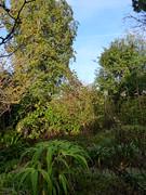 P1180392 (jrcollman) Tags: camellia plants camelliaxvernalisyultide iplant irisconfusa escalloniabifida eplant hplant 21beechwoodgarden archived hamamelismollis cplant eucryphiaxnymansensisnymansay