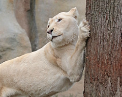 african white lion Ouwehands 094A1304 (j.a.kok) Tags: whitelion witteleeuw leeuw lion africa afrika afrikaanseleeuw africanlion afrikaansewitteleeuw africanwhitelion animal mammal zoogdier dier predator ouwehands ouwehandsdierenpark ouwehand pantheraleoleo timbavati