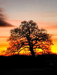 The state of Britain? (judy dean) Tags: judydean 2019 january sunset tree skeleton politicalcomment brexit branches twigs chaos order