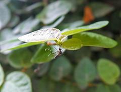 Aedes aegypti female (Mosquito Addict) Tags: aedes aegypti female tiger mosquito yellow fever dengue chikungunya zika virus vector philippines