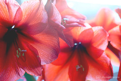 amaryllis (photos4dreams) Tags: photos4dreams photos4dreamz p4d blume flower amaryllis red beautiful rot wunderschön schön macrolens macro makro canoneos5dmark3