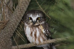 Northern Saw Whet Owl (bigolemrkanish) Tags: northern saw whet owl northernsawwhetowl owls bird birdsofprey birds long island longisland longislandwildlife ny newyork new york