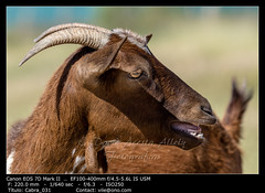 Brown goat (__Viledevil__) Tags: agriculture animal brown cute domestic ears eye eyes face farm fauna field fur goat grass hair head horn looking mammal meadow natural nature nose outdoor pastoral portrait rural standing vertebrate rota andalucía españa es