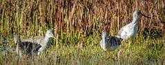 Greater Yellowlegs (randyherring) Tags: ca california centralcaliforniavalley cosumnesriverpreserve elkgrove greateryellowleg afternoon aquaticbird outdoor park waterfowl wetland